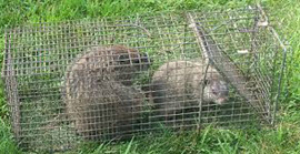 The ways to get rid of groundhogs