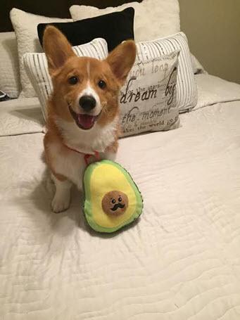 dog eating avocado