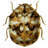 furniture carpet beetles