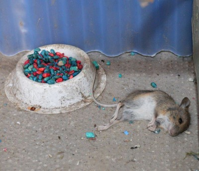 mouse poisoned